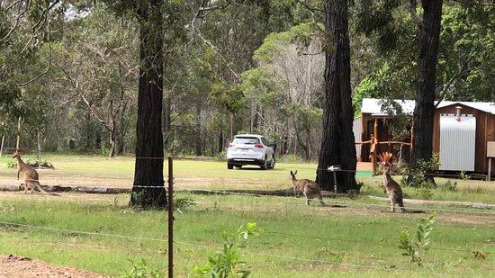 Fraser Coast, Australia: Resident Kangaroos visiting Mango Lodge.