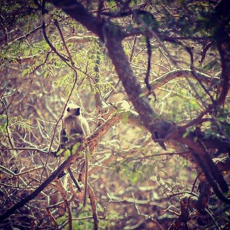 Indian Black Faced Monkey spotted during trek around Kumbhalgarh Rajasthan India
