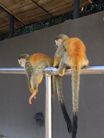 Los Altos Resort: Marauding monkeys at the pool.