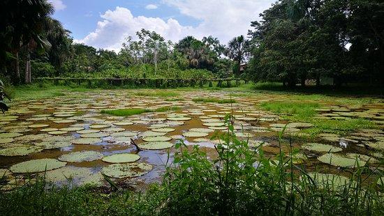 Loreto Mocagua, Colombia: Lago con victoria regia en la comunidad