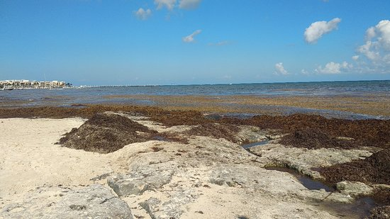 Muito sargaço na praia toda