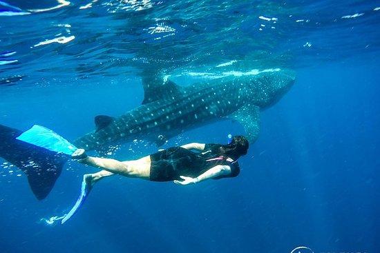 鲸鲨在Riviera Maya遇到全日游