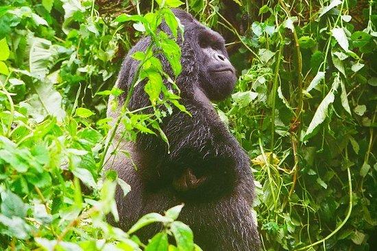 Suivi des gorilles dans le parc...