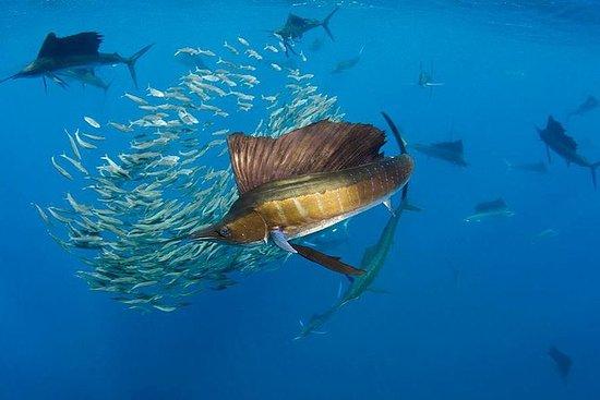Swim with Sailfish Adventure from...