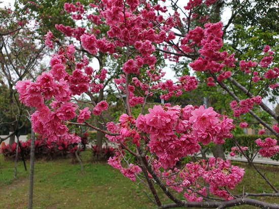 Li Wei Branch Cherry Blossom Park
