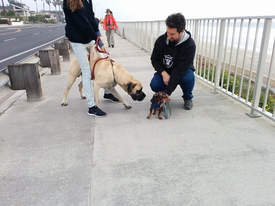 Big Dog Meets Little Dog At Carlsbad Beach Winston Is A Gentle
