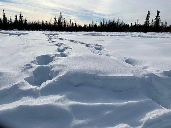 Fresh moose tracks