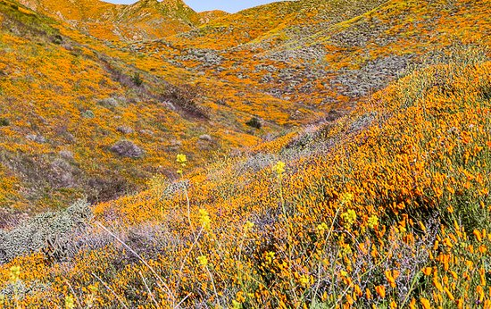 Rolling hills of colorful wildflowers.