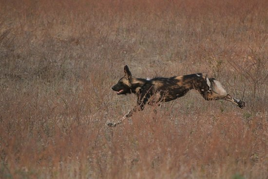 Mana Pools National Park, Zimbabwe: One of the best places to see Painted Hunting Dogs