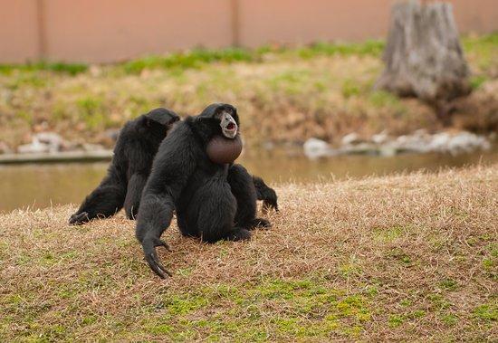 Moseley, Wirginia: Siamang monkey