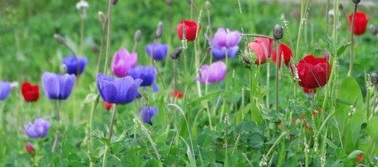 Afula, Israel: anemones multicolores