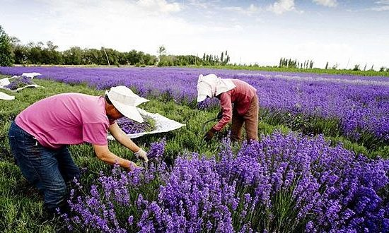 Nilka County, China: lavender fields of xinyuan county of yili ,xinjiang,China