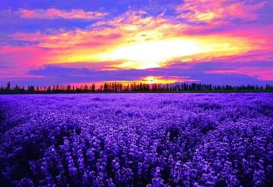 Yining County, China: lavender of xinjiang yili valley.