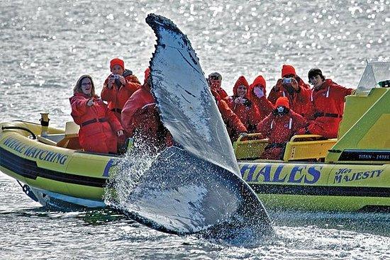 Zodiac Whale Watching Adventure da