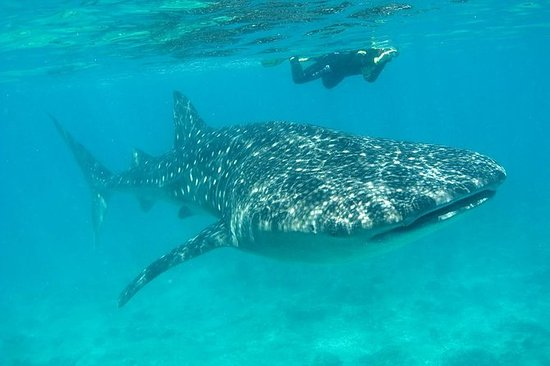 Whale Shark and Snorkeling Adventure...