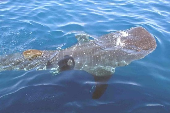 Observation des requins-baleines en...
