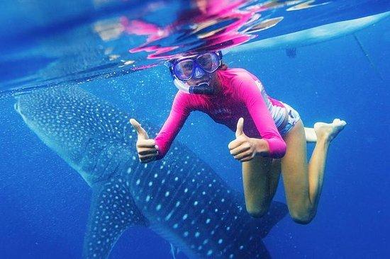 Oslob Whale Shark Swimming och ...