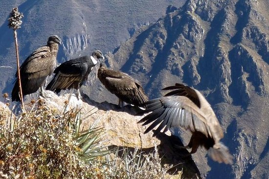 Full day Colca Canyon tour from Arequipa