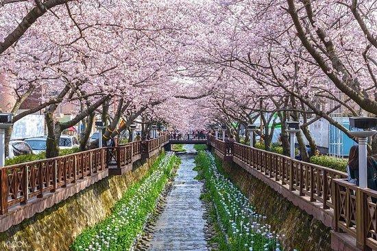 La beauté des fleurs de cerisier de...