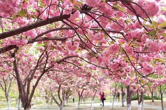 Visite privée des cerisiers en fleurs...
