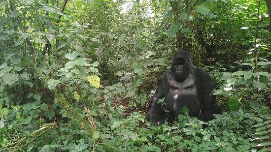 Caminata de gorilas de montaña y...