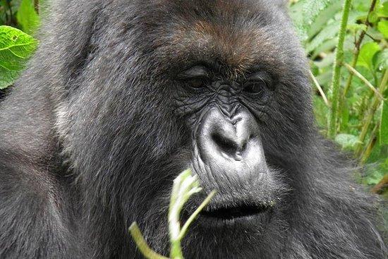 3 giorni di esperienza Gorilla