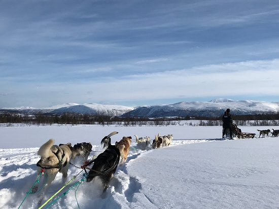 Husky Sledding Ride Including Campfire Lunch from Tromso: Hard working dogs.