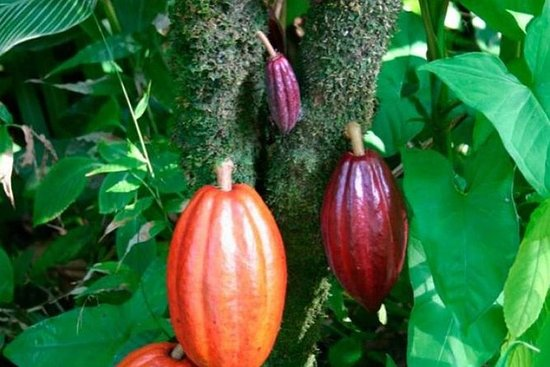 BriBri巧克力之旅和卡维塔国家公园