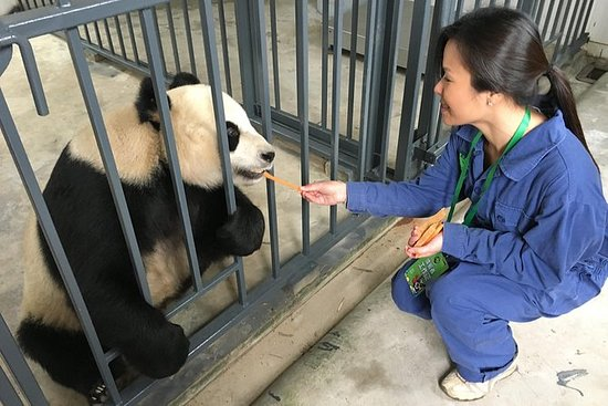 Volunteer at Dujiangyan Panda Base...