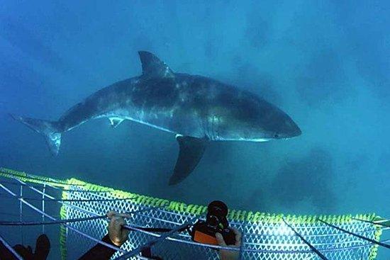 Plongée de requin privée