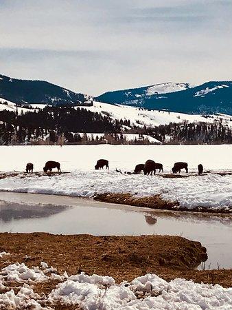 Halbtägige Sonnenuntergangstour im Grand Teton National Park: Bison grazing in the midst