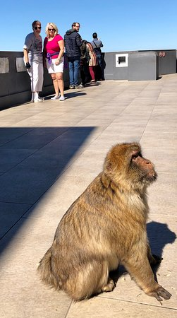 The Rock of Gibraltar: Beautiful Barbary Macaques
