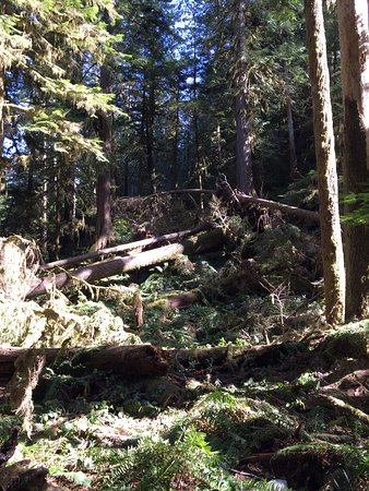 Hall of Mosses trail at the Hoh Rain Forest - Picture of