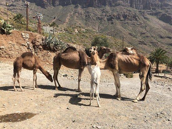 Camel Park Arteara