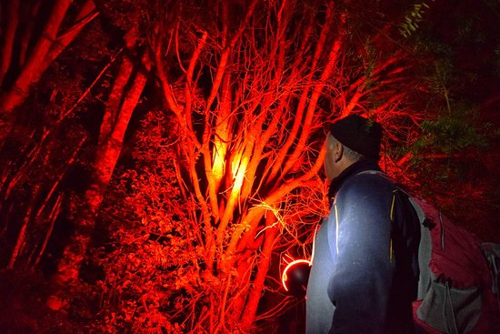 Dargaville, New Zealand: our experienced guides use special red lamps to find kiwi and other wildlife during the tour