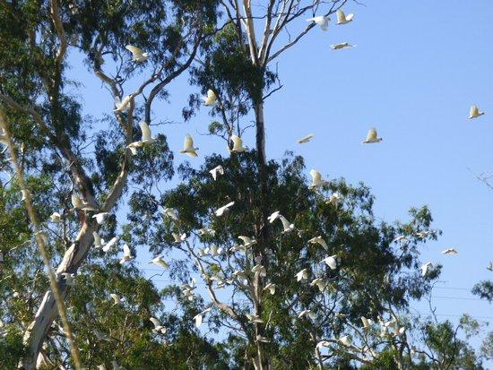 The white galahs