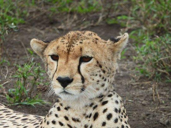 Serengeti National Park, Tanzanya: Cheetah relaxing at its comfort zone #serengetisafaris #tarangirenationalparkadventure #borderlesstours