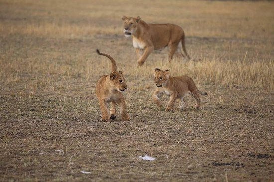 Lioness teaching her cubs how to hunt in Serengeti National Park. #lifetimesafaris #serengetigamedrive #serengetigame #serengetilions.