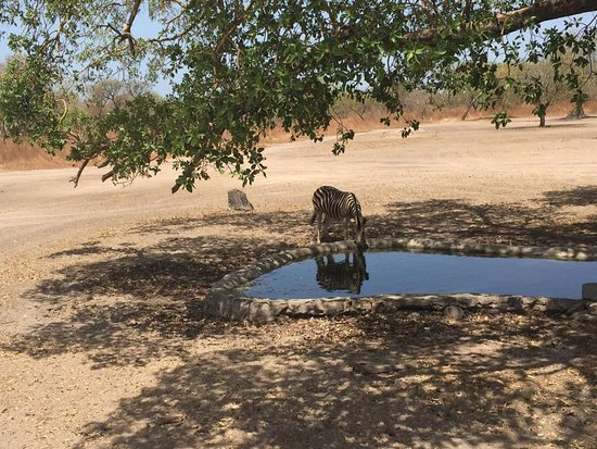 Senegal: Fatala bufallo