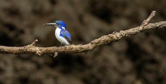 Little Kingfisher