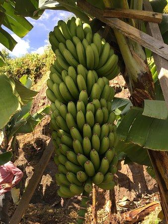 Portugal Farm Experiences: Madeira Banana Experience