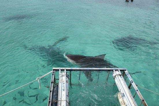 Bull sharks at Bimini