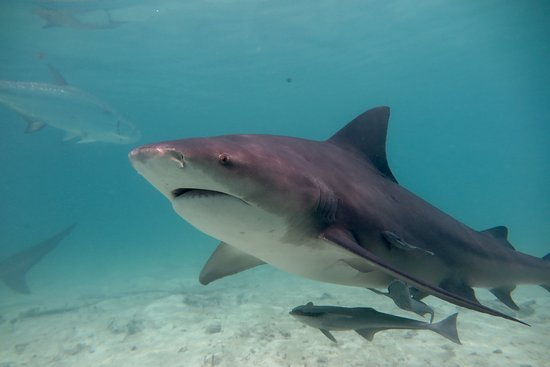 Bimini Bull Run: Bull sharks Bimini