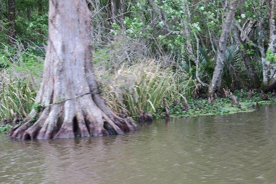 Zam's Bayou Swamp Tour