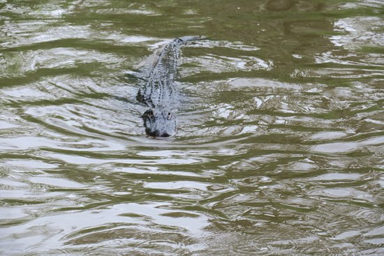 Zam's Bayou Swamp Tours: Zam's Bayou Swamp Tour