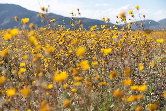 Borrego Springs, Kalifornien: Desert Flowers in Bloom