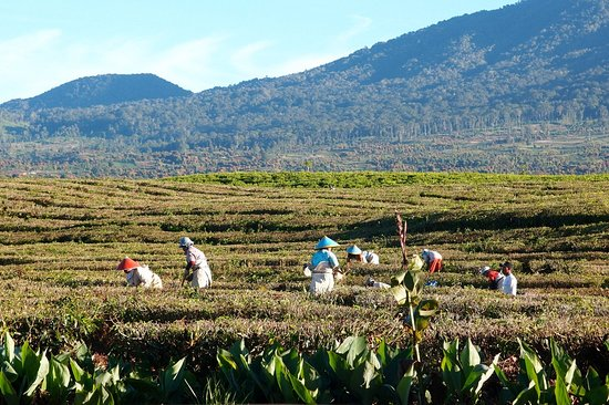 MAC Tours: The peak of Kerinci mountain is 3805 below the surface of the sea. You can see the expanse of tea plantations
