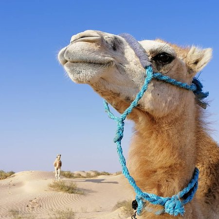 Sahara. Camel riding one overnight under a nomad tend