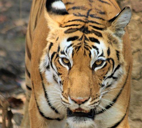 5 Tiger sightings in Tadoba