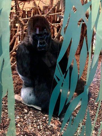 London Zoo Entry Ticket: Gorillas